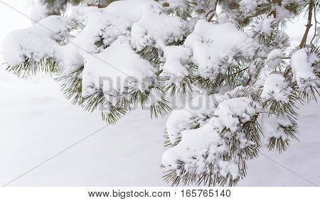 Snow on branches. Fir twig covered with snow