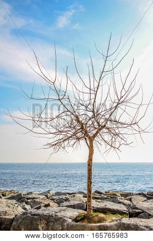 Tree at Marmara sea coast on March Istanbul Turkey.