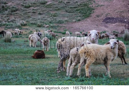 Group of sheep in Kazakhstan. Sheep family in summer.