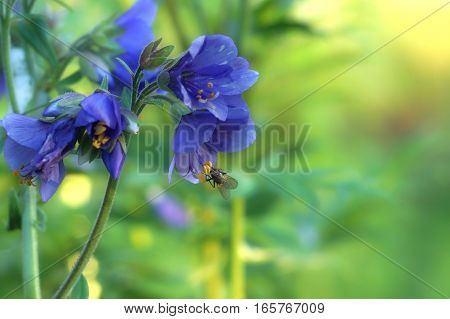 Fly collecting pollen on a purple flower with yellow stamens, blurred background