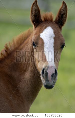 Portrait of curious chestnut Foal standing at pasture.