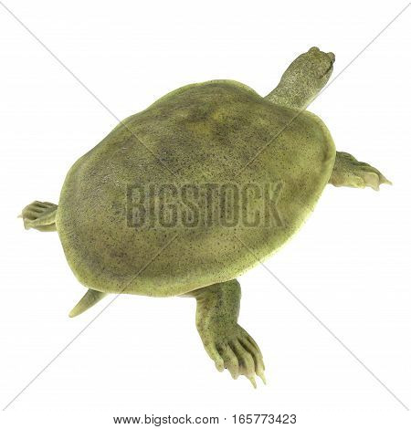 Rear view Chinese soft-shelled turtle on white background. 3D illustration