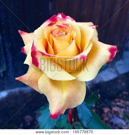 Flower head of a yellow rose in closeup