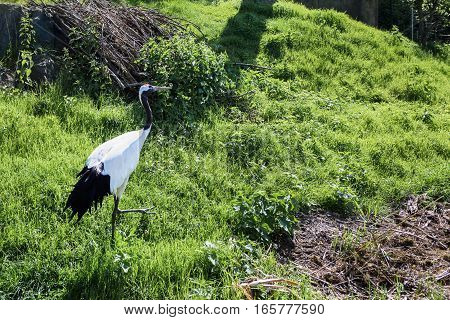 White and black stork bird in a green field