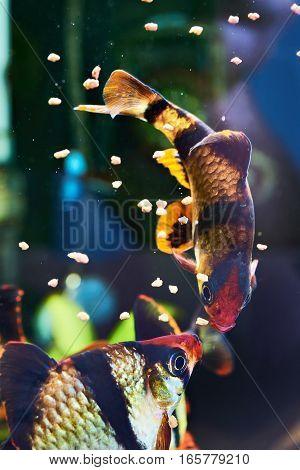 Feeding Aquarium Fishes - Barbus Puntius Tetrazona