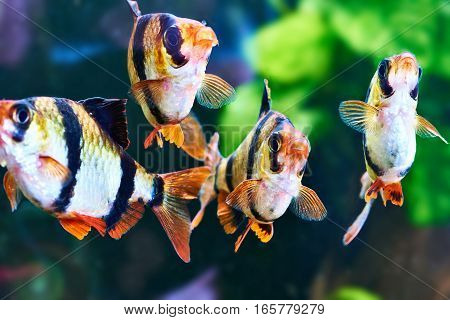Aquarium Fishes - Barbus Puntius Tetrazona