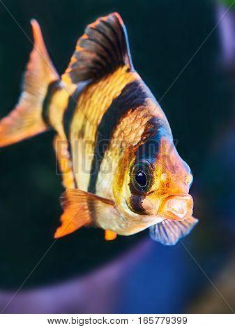 Aquarium Fish - Barbus Puntius Tetrazona