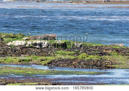 Sea Lion In Ireland