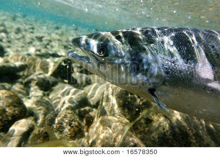 Unique shot of the atlantic salmon in its natural habitat