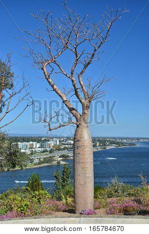 Baobab tree in Kings Park Perth Western Australia