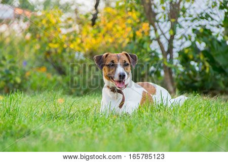 Dog Breed Jack Russell Terrier Lies On The Grass