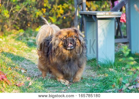 Pet Dog Pekingese Running On The Green Path