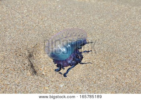 Portuguese man o' war Physalia physalis jellyfish