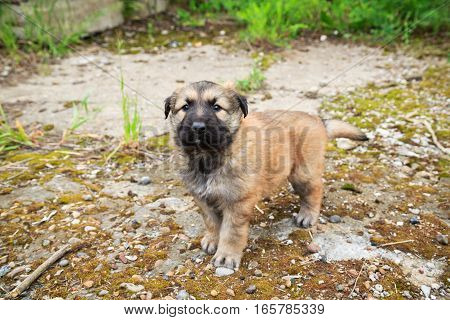Cute Fluffy Caucasian Shepherd Puppy