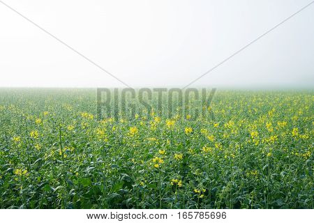 Just flourished oilseed rape field in the morning fog