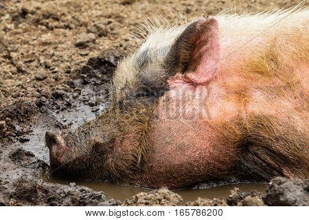 Pig Mud Water Closeup