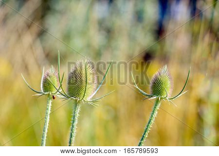 Closeup of three overblown Fuller's teasel or Dipsacus fullonum plants in their own natural habitat on a sunny day in the Dutch summer season.