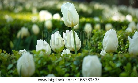 Beautiful bouquet of tulips in Istanbul during Tulips Festival