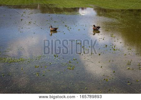 Two ducks swim on flooded green patch of land