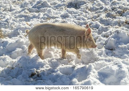 Bulgarian local pig breed of ancient origin. East Balkan small pig