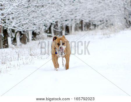 American Staffordshire Terrier Outdoor Portrait