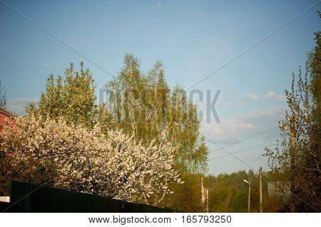 Cherry blossoms over the brown fence. Botanical