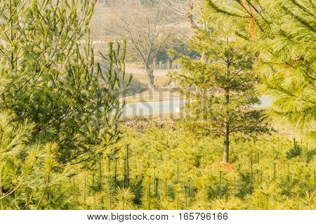 Landscape of a barren leafless tree framed by evergreen trees in a country setting