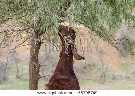 Goat Eating Leaves From Tree At Ostrich Farm. Israel