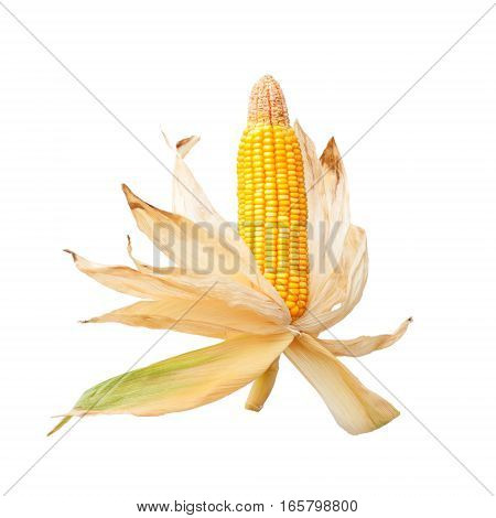 Mature corn cob isolated on white background