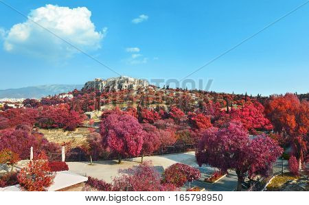 Acropolis view in Athens Greece with red trees and blue sky background