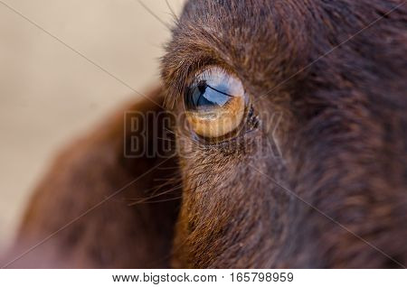 Close Up Of Brown Goat's Eye At Ostrich Farm. Israel
