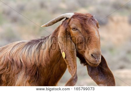 Close Up Of Brown Goat At Ostrich Farm. Israel