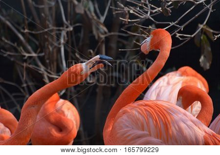 Pair of pink flamingos clearly having a disagreement.