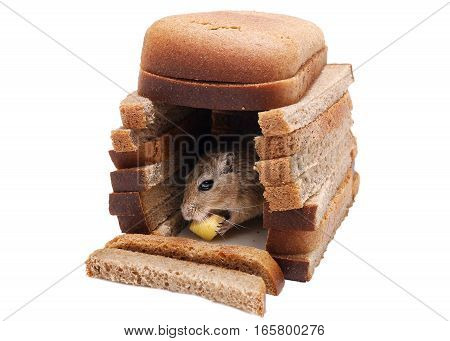 Gerbil mouse eat cheese at house of bread pieces isolated on white background. Buying Property concept.