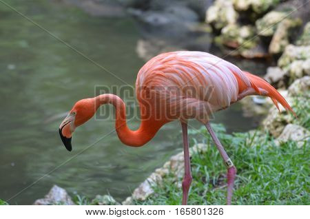 Greater flamingo walking down to the water's edge.