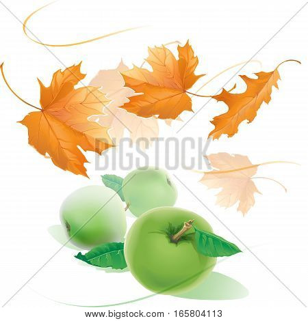 Falling yellow autumn maple leaves fly in the wind and three realistic apples with green leaves isolated on white background vector illustration. Autumn picture.
