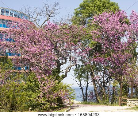 SAINTS CONSTANTINE AND HELENA BULGARIA - MAY 09 2015: hotel Sirius and cercis trees in Saints Constantine and Helena the oldest first sea resort of Bulgaria exists from 19 century.