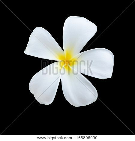 White and yellow tropical flowers, Plumeria isolated on black background.