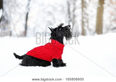 scotch terrier in the snow wearing playing in the park on the snow. Winter time. dog in red pullover