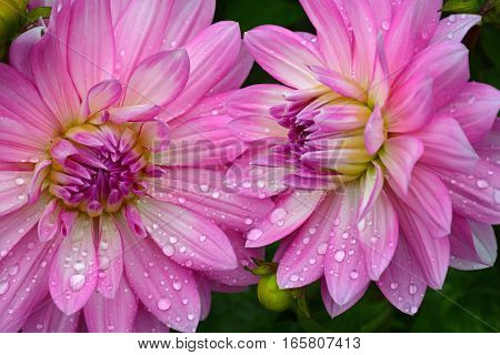 Two beautiful pink dahlia flowers covered with raindrops