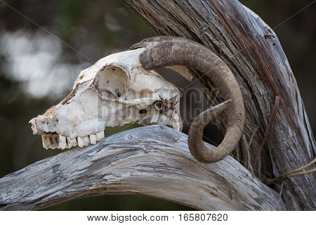skull a mountain goat close up on tree trunk