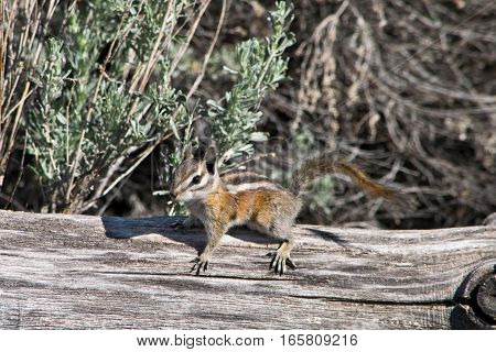 Utah chipmunk on the dry tree in the wilds