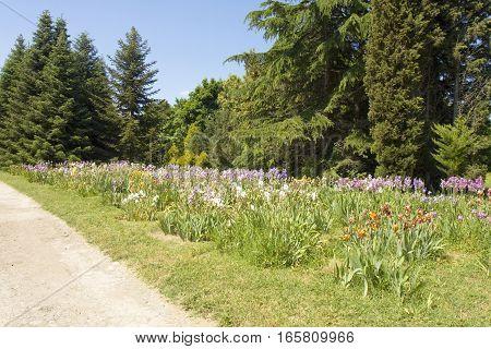 Big flowerbed with irises in University botanic garden Ecological park in Saints Constantine and Helen resort Bulgaria
