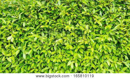 Banyan Tree background and texture natural background texture green background