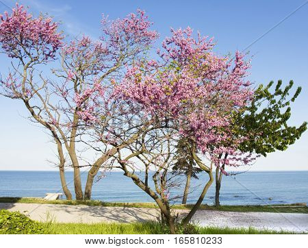 Cercis trees in blossom on sea coast recorded in Saints Constantine and Helen resort Bulgaria.