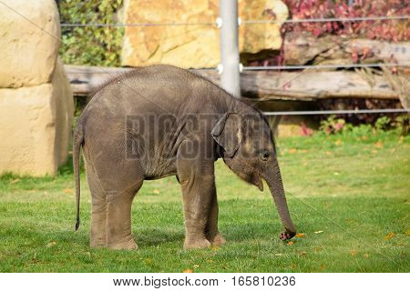 A asian elephant calf in the zoo