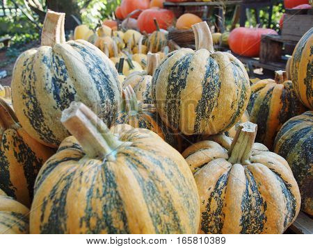 Set of yellow and green pumpkins in a garden