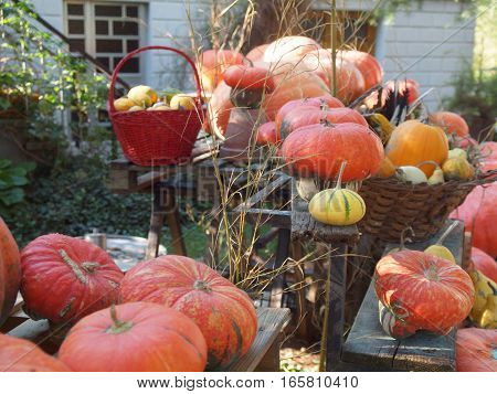 Set of red and yellow pumpkins in a garden