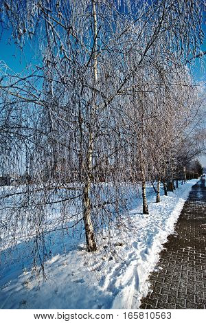 Alley of birch trees with frost and snow in winter