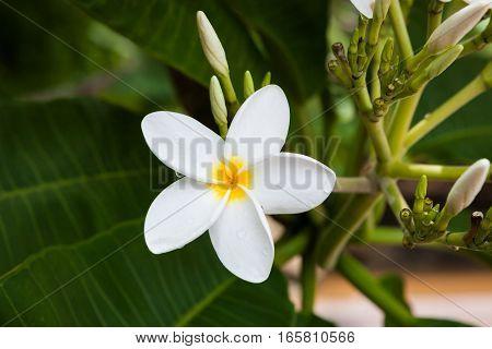 Plumeria flower blooming in nature Costa Rica